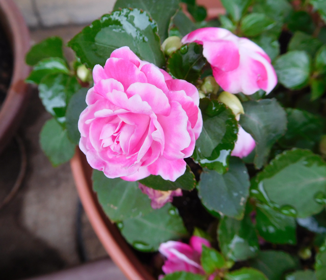 夏に強い花