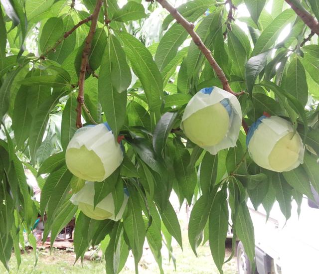 桃農家の仕事 除袋
